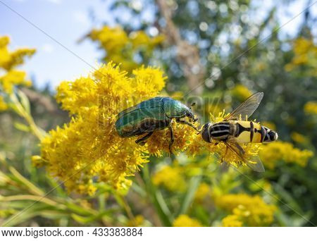 Green Rose Chafer And Hoverfly On A Yellow Flower Head In Sunny Ambiance