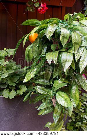 An Orange Tree With Fruits. Ripe Orange Fruit Of An Orange On A Branch