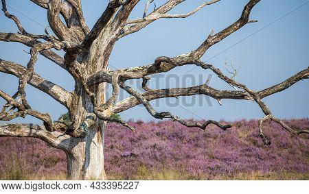 Dead Tree In A Heather Field On Kampina In Noord-brabant, Dutch Landscape
