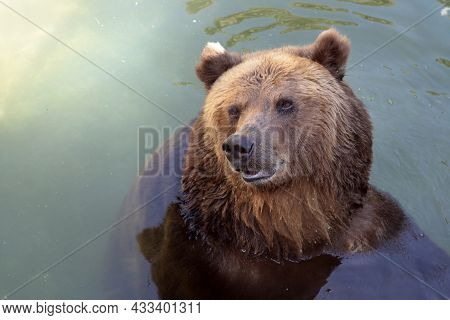 A Bear In The Pond Of The Aviary At The Zoo.