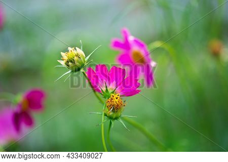 Cosmos Flower Cosmos Bipinnatus With Blurred Background