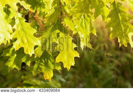 Green Leaf Of Oak Covered By Water Drops Of Dew. Freshness Morning Dew On Young Leaves. Close-up Pho