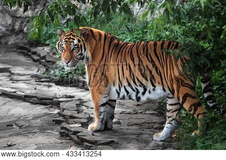 A Bright Red Amur Tiger Who Has Come Out From The Green Jungle Onto A Stone Road Looks At You Inquir