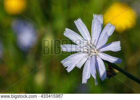 Blue Cichorium Flowers, Chicory Wild Flowers. Blue Flower On Natural Background. Flower Of Wild Endi