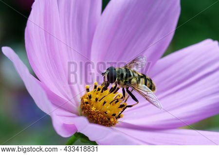 Cosmos Bipinnatus Flowering Purple Garden Cosmos With A Hoverfly On The Yellow Stamen