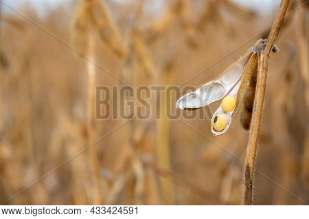 Ripe Soybeans In A Cracked Pod. Soybean Harvest In The Field. Selective Focus. Space For Text.