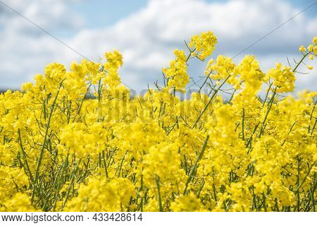 The Yellow Blossoms Of Rapeseed On A Spring Day With White Clouds On Blue Sky