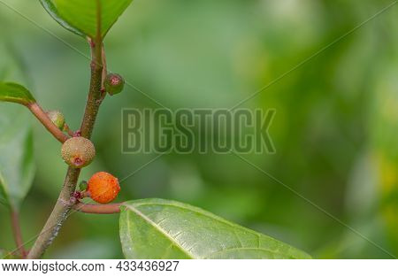 Medicinal Plants Are Known As Hairy Fig, Palmate Cleft Fig, Ficus Hirta Vahl, Colorful Fruit On A Bl