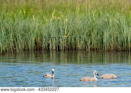 Young Gray Swans In Swimming In A Blue Lake. One Animal Dive Under Water. Chicks, Young Animals, Cyg