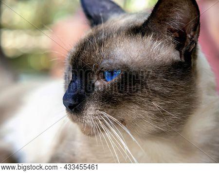 Portrait Of A Siamese Cat In Profile. Close-up.