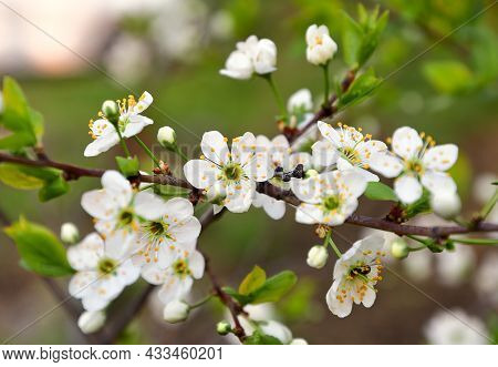 Fresh Apple Flower Petals With Yellow Stamens Close-up In Spring. Nature Of Siberia, Russia, 2020