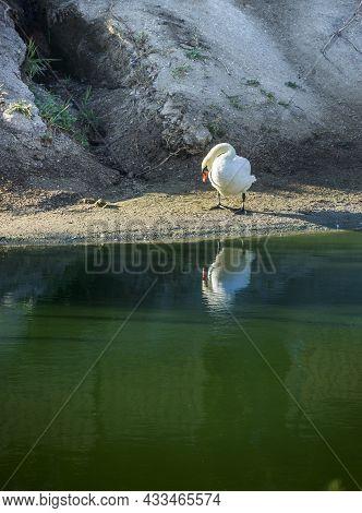 A White Mute Swan