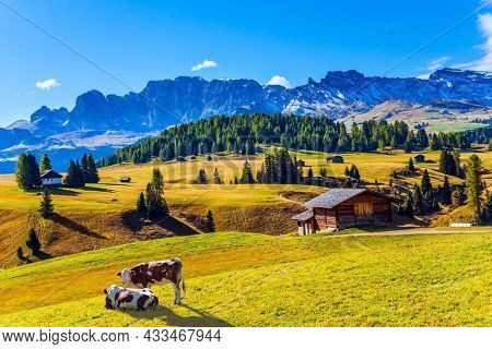Indian summer in the Dolomites. Plump farm cows graze on the hills. Alpe di Siusi is charming plateau in the Dolomites, Italy. The concept of walking, ecological and photo tourism
