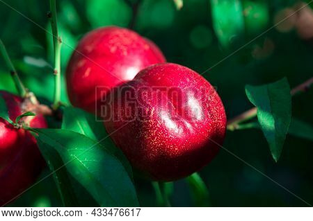 Red Nectarines On A Branch . Juicy Sweet Fruits On A Tree