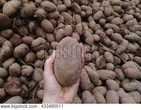 A Bunch Of Potatoes. Women's Hands Hold Potatoes Close-up Against The Backdrop Of Many Potatoes. The