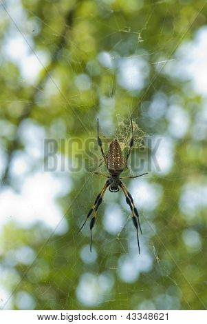 A Golden Silk Orbweaver (Nephila clavipes) female and male spider mate. poster