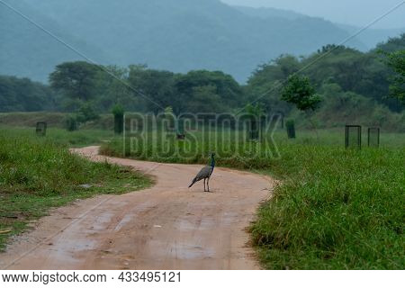 Indian Peafowl Or Peacock On Forest Trail In Monson Green Landscape At Jhalana Forest Reserve Jaipur