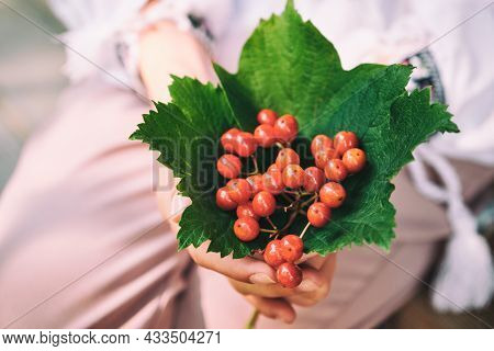 Cluster Of A Guelder-rose Berries In A Hand.