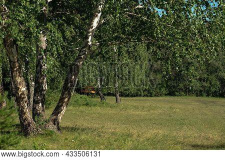 Glades In A Birch Forest. Nobody. Summer, Yellow Grass