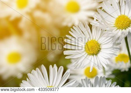 Chamomile Macro On Sunny Blurred Background. Macro Nature Flower Closeup. Blooming Chamomile Field