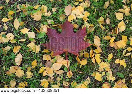 Fallen Red Maple Leaf On Green Grass And Yellow Leaves