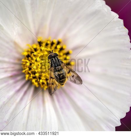 Close Up Macro Image Of Hoverfly Syrphidae Latrielle On Beautiful White Cosmos Flower In English Cou
