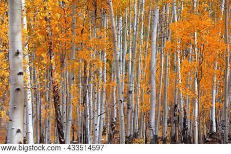 Bright yellow Aspen trees in peak autumn time in Colorado