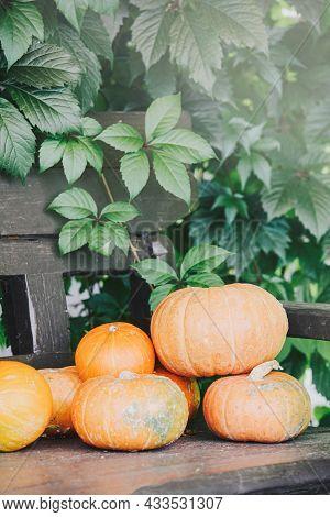Autumn Harvest. Orange Pumpkins On Bench With Sunshine. Concept Of Thanksgiving Day Or Halloween. Au
