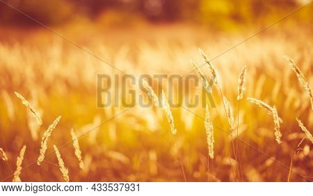 Cereal field with yellow ripe spikelets closeup with blurred background. Wheat grain in farmaland with beautiful sunlight