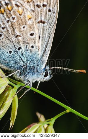 Lycaenidae Butterfly In Nature On A Plant Close Up.