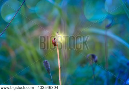 Ladybug Red Black Sits On The Tip Of The Blade Of Grass. A Bright Flashlight Glows From The Tip Of T