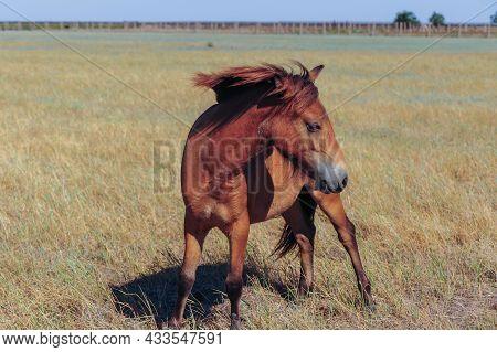 Close Up Przewalskis Horse, Equus Ferus Przewalskii.