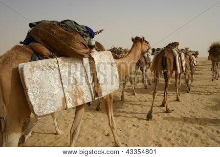 Camel caravan hauling salt in Sahara Desert,