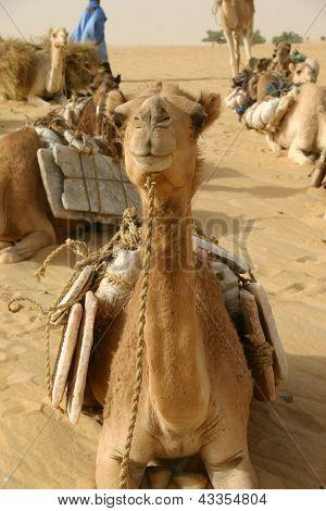 a camel resting  in the Sahara Desert