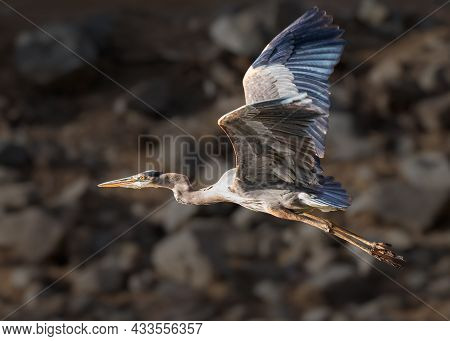 A Great Blue Heron In Flight With The Late Afternoon Sun Shining On Its Face.