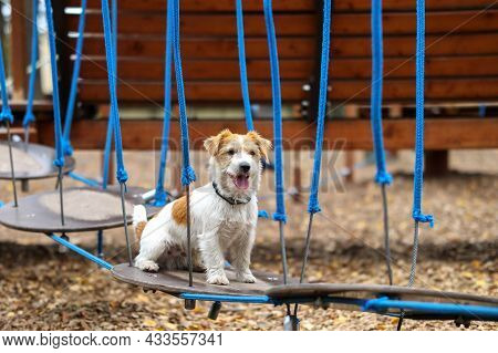 Agility Lesson. Dog Training Town. Wirehaired Jack Russell Terrier Puppy Sits On The Step Of A Hangi