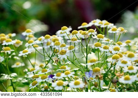 Close up of Chamomile a little yellowish white flowers in summer field