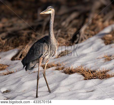 A Great Blue Heron Standing In The Snow.
