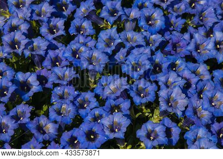 Close Up Of Blue Flowerbed In The Botanic Garden Of Mont Blanc