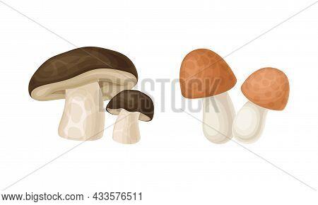 Edible Mushrooms Species Set. Cep And Boletus Mushroom Vector Illustration
