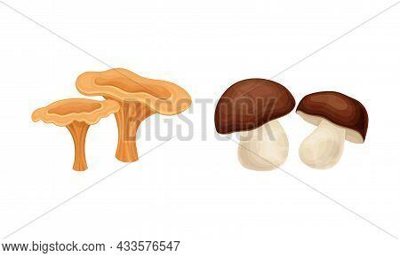 Edible Mushrooms Species Set. Chanterelle And Porcini Mushroom Vector Illustration