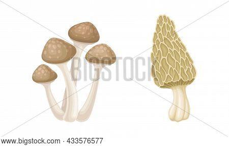 Edible Mushrooms Species Set. Yanagi Matsutake And Morel Mushroom Vector Illustration