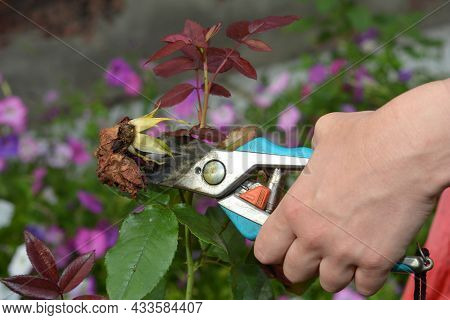 Rose Care And Rose Deadheading In Summer. A Woman Is Deadheading, Cutting Off Faded Rose Flowers For