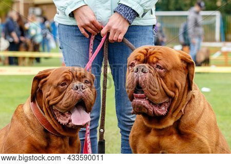 A Lovely Pair Of Dogue De Bordeaux With Serious Muzzles On A Walk.