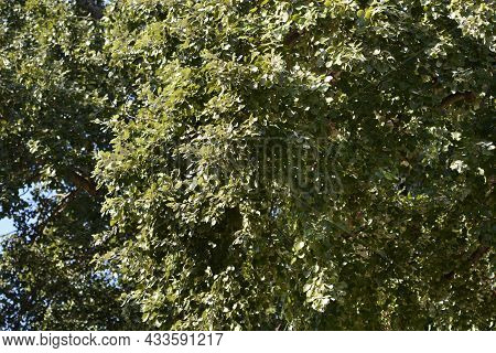 White Poplar Tree - Latin Name - Populus Alba