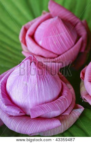 Lotus Flower Close Shot