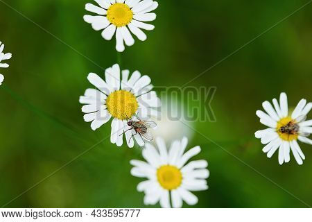 Chamomile Flower With White Petals And A Yellow Center On A Background Of Grass