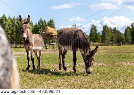 Portrait Of Two Shy Fluffy Curious Funny Domestic Cute Hungry Donkeys Stand At Countryside Farm Barn