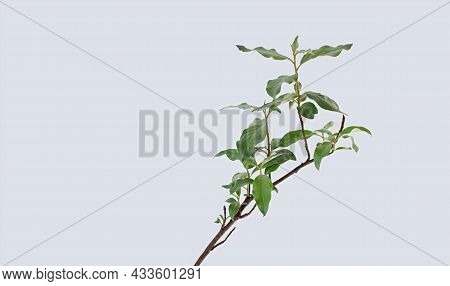 One Branch Of A Plant Elaeagnus Commutata On A Light Background. Ornamental Shrubs For The Garden.