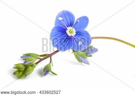 Veronica Persica Isolated On A White Background